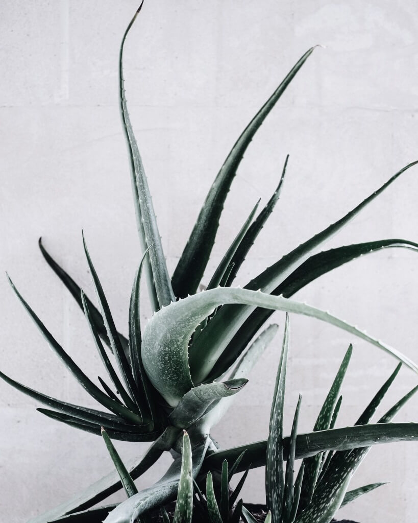 aloe vera is used to create diy surf spray for beachy hair