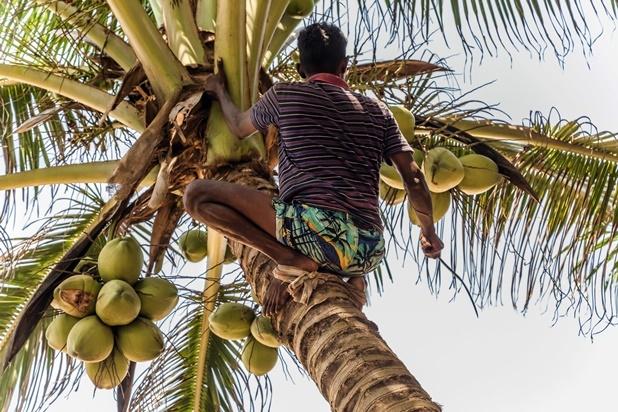 status of coconut oil