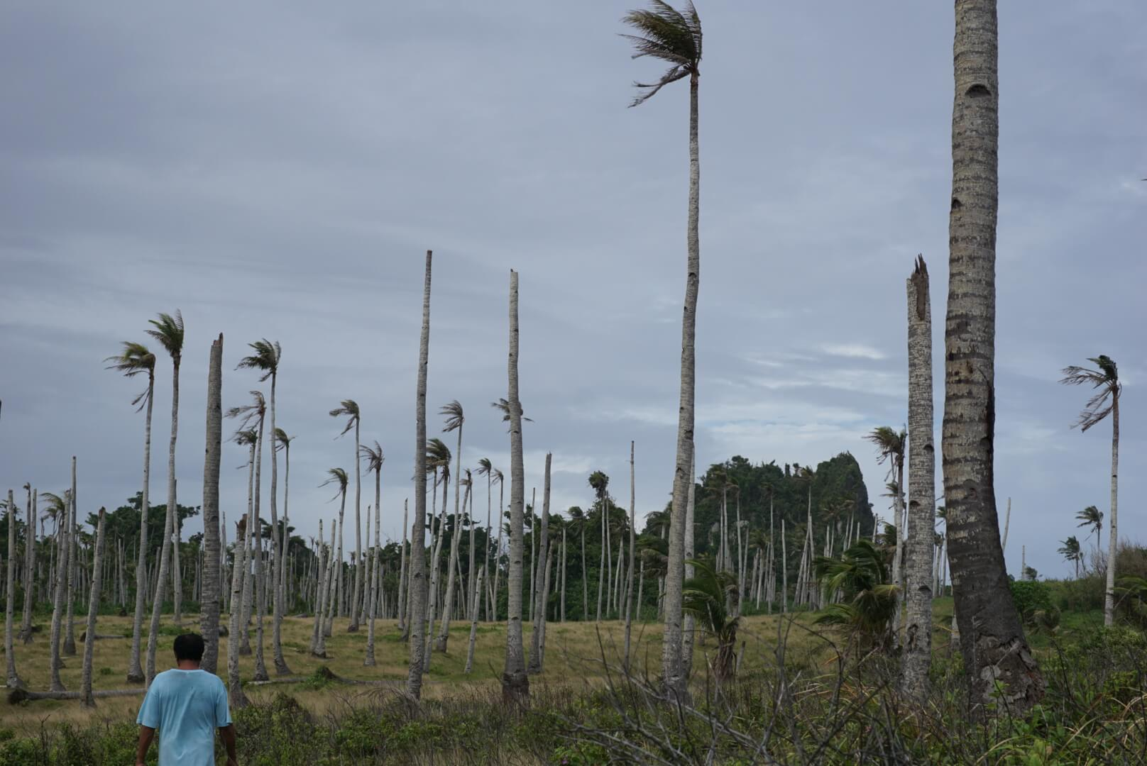 Coconut farms of Tacloban destroyed after typhoon hagupit